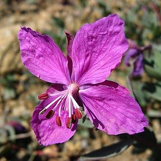 Chamaenerion latifolium - Flower of Chamerion latifolium