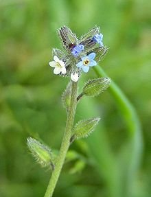 Forget-me-not (Myosotis discolor)