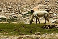 Changthang - Horse (9368532161).jpg