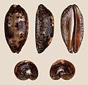 Chelycypraea testudinaria 01.JPG