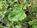 Chenopodium chenopodioides sl31.jpg