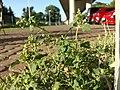Chenopodium vulvaria sl7.jpg