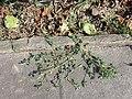 Chenopodium vulvaria sl89.jpg