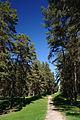 Cherkasy Forest Pines.JPG