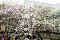 """Cherry-Blossom-Viewing through the """"Tunnel"""" at Japan Mint in 201504 039.JPG"""