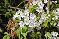 Cherry tree flowers - panoramio (1).jpg