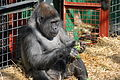 Chessington gorilla eating.jpg