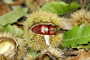 Calybium and cupule - A Sweet Chestnut Castanea sativa cupule, split open to reveal the calybia.