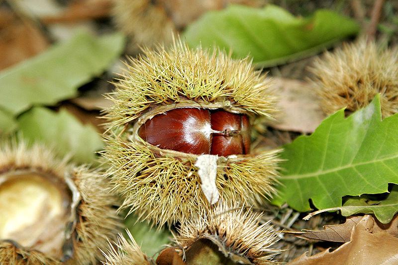 Fitxategi:Chestnut03.jpg