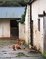 Chickens at Meadow Farm - geograph.org.uk - 640144.jpg