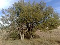 Chiltan Beautiful Trees, Quetta - panoramio.jpg