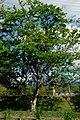 Chiminango (Pithecellobium dulce) (14680197976).jpg
