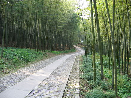 Cloud-Sustained Path in a Bamboo Grove China Hangzhou Bamboo Lined Path at Yunqi.JPG