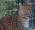 Chinesischer Leopard Panthera pardus japonensis Tierpark Hellabrunn-4.jpg