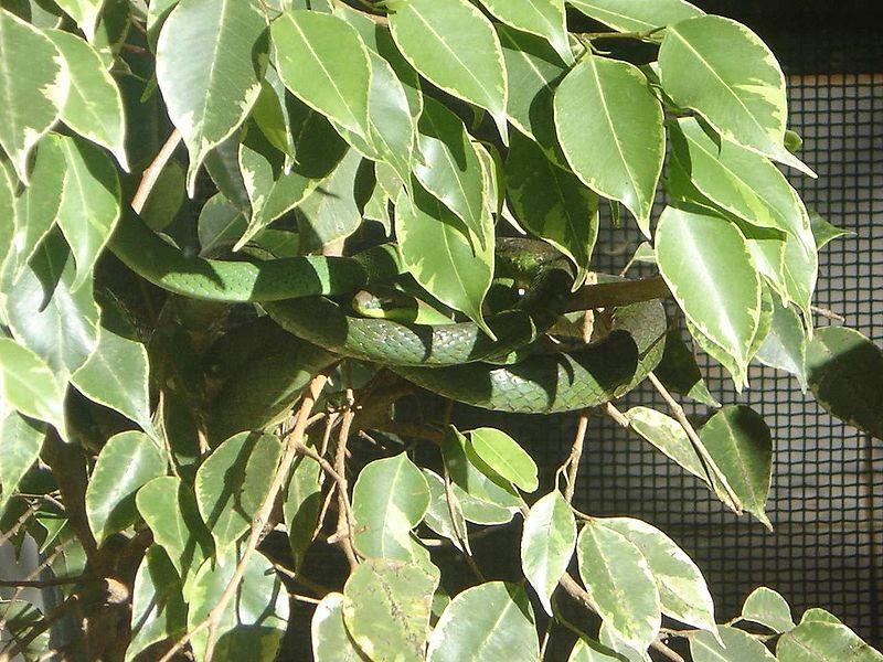 Ficheiro:Chironius bicarinatus.jpeg