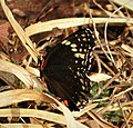 Chlosyne h. hippodrome. Simple Checkerspot (27962141417).jpg