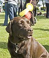 Chocolate labrador (Rosie) 1st and 3rd place (2701458846).jpg