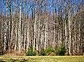 Chorus of Trees - panoramio.jpg