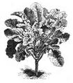 Chou branchu du Poitou Vilmorin-Andrieux 1883.png