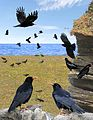 Chough from the Crossley ID Guide Britain and Ireland.jpg