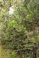Christchurch Botanic Gardens, New Zealand section, Colletia cruciata 2016-02-04.jpg