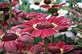 Chrysanthemum from lalbagh7268.JPG