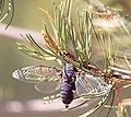 Cicada with wings spread.jpg