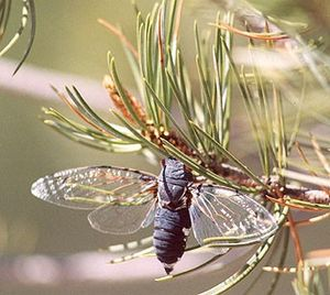 Kigo - The cicada (semi) is a common late summer kigo.