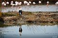 Cigogne en Camargue - 007.jpg