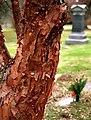 "Cincinnati - Spring Grove Cemetery & Arboretum ""Paperbark Maple Tree"" (16796147412).jpg"