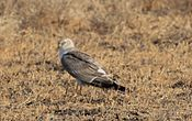 Circus macrourus roosting in little rann of kutch.JPG