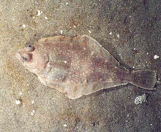 Paralichthyidae - Pacific sanddab, Citharichthys sordidus
