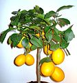 Citrus - Meyer-lemon - Tree.jpg