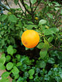 Citrus japonica (6).JPG