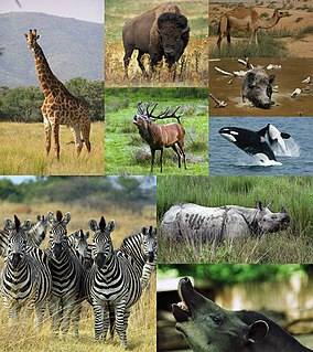 Ungulate Group of animals that use the tips of their toes or hooves to walk on