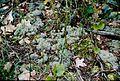 Cladonia subtenuis (EU).jpg
