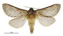 Cladoxycanus minos male.jpg