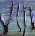 Clavulina-dicymbetorum-TH-8730-HOLOTYPE.jpg