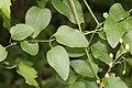 Clematis terniflora (leaf).jpg