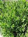 Clethra alnifolia (28517446670).jpg
