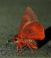 Close wing Mudpuddling of Burara oedipodea (Swainson, 1820) – Branded Orange Awlet WLB DSC 6437.jpg