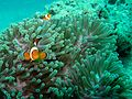 Clown anemonefish (5510241756).jpg