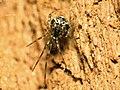 Cobweb Spider (28709247463).jpg