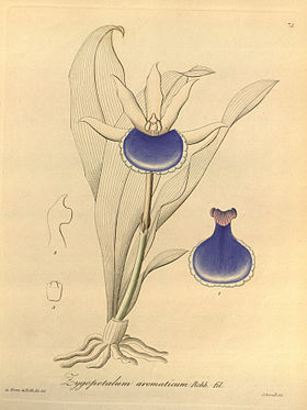 Cochleanthes aromatica (as Zygopetalum aromaticum) - Xenia vol 1 pl 73 (1858).jpg