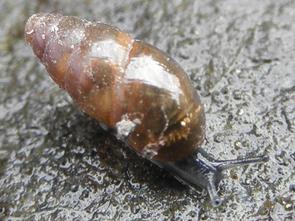 Gemeine Glattschnecke (Cochlicopa lubrica)