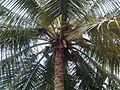 Coconut Tree.jpg