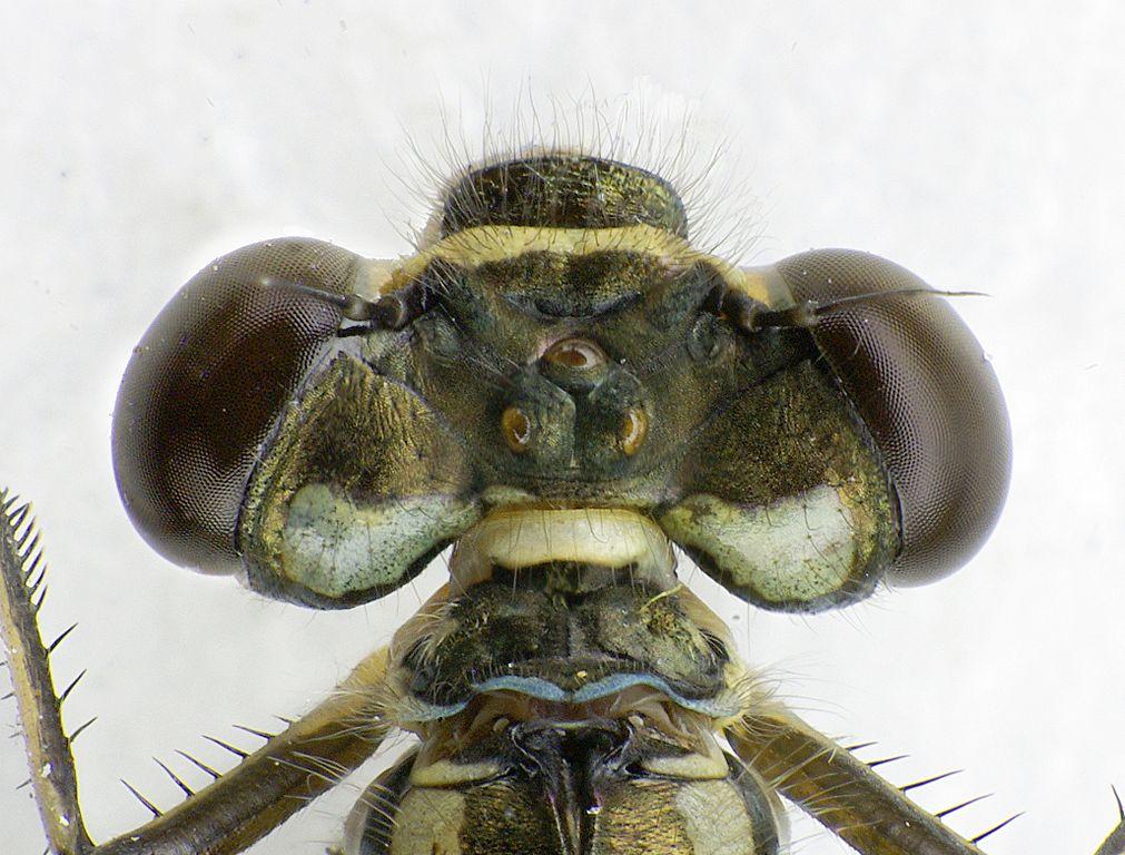 Šidielko obyčajné (lat. Coenagrion puella) - detail hlavy