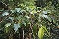 Coffee-leaf-rust-defoliation.jpg