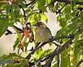 Collared Flycatcher hen . Ficedula albicollis (25294946777).jpg