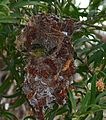 Collared Sunbird (Hedydipna collaris) female on nest ... (30429792623).jpg